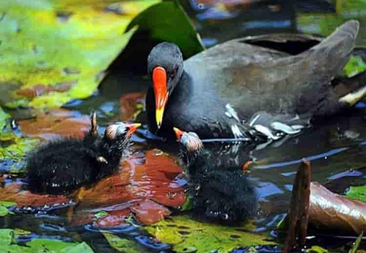 tiếng chim trách ré gà nước